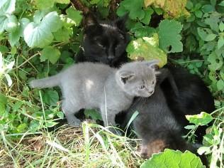 Katze Minni mit ihren Katzenbabys, Juni 2016